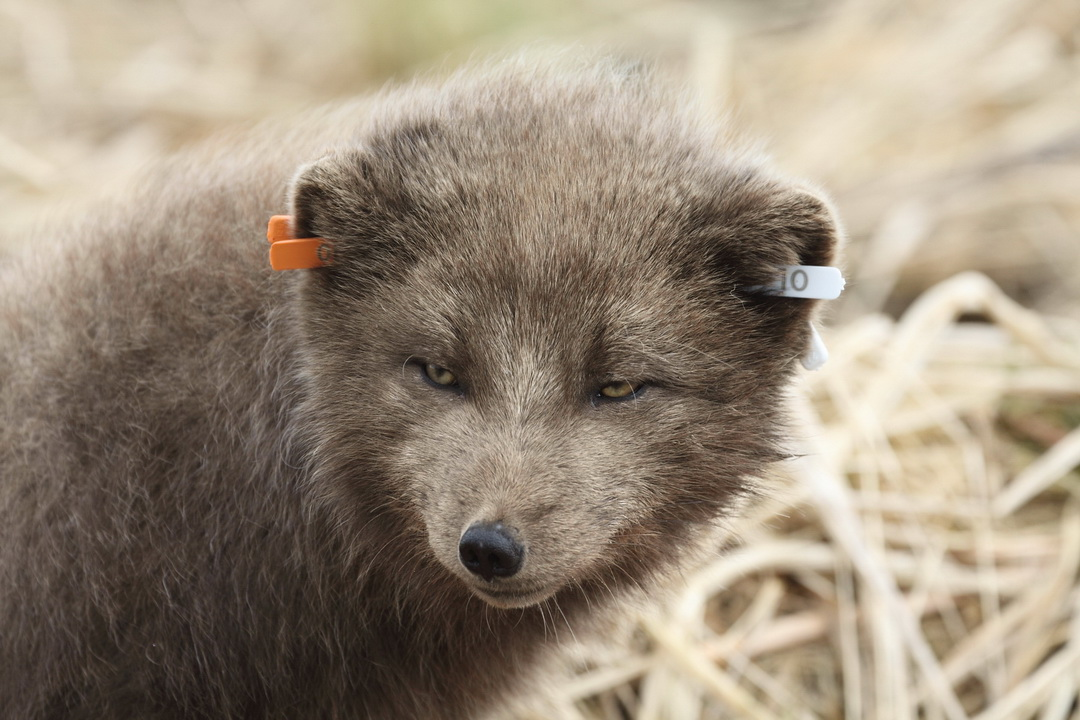 An arctic fox with tags. Photo by Alexander Shiyenok
