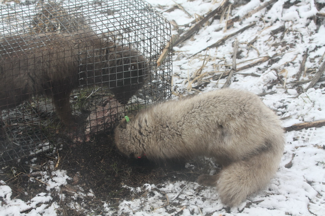 This arctic fox is not helping its friend. It is more interested in the bait. Photo by Alexander Shiyenok