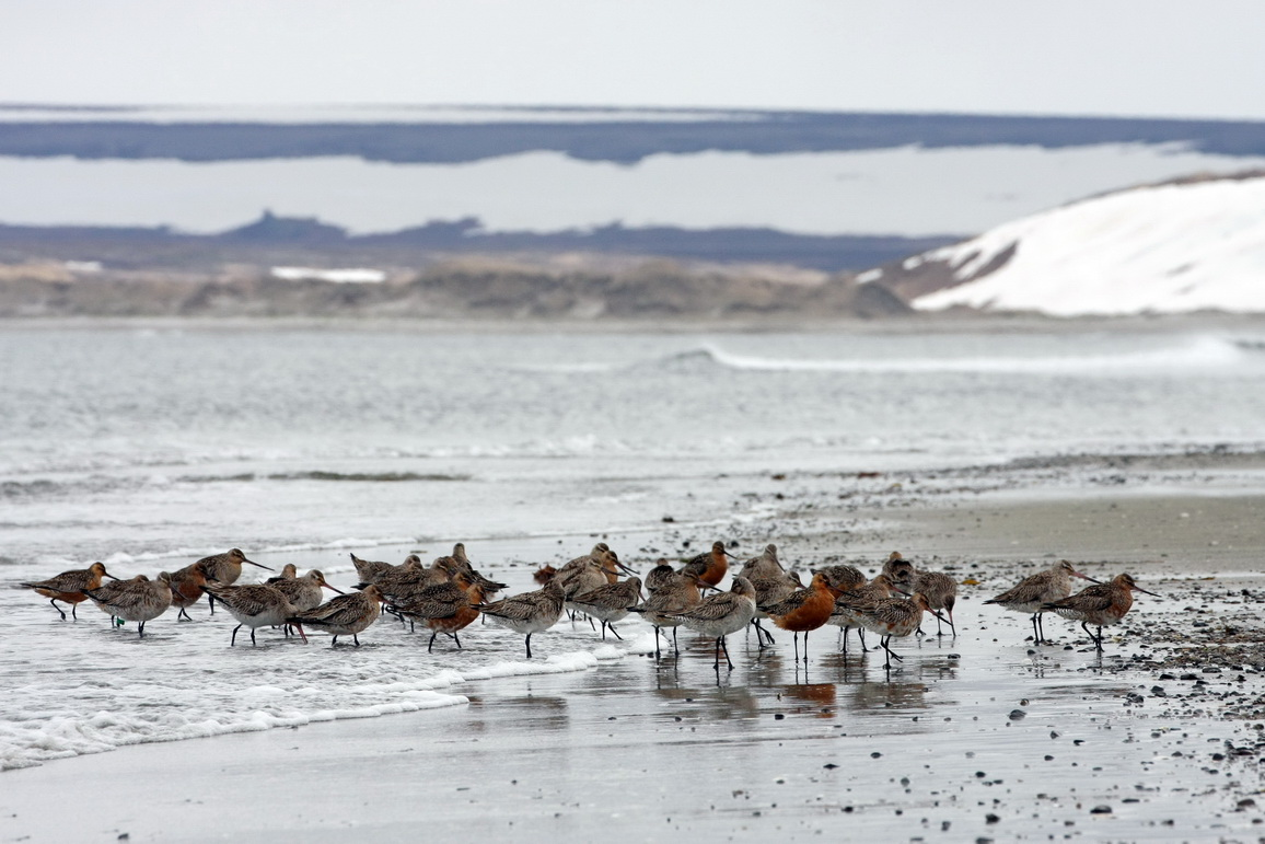 Bar-tailed godwits. Photo by the Commander Islands Reserve