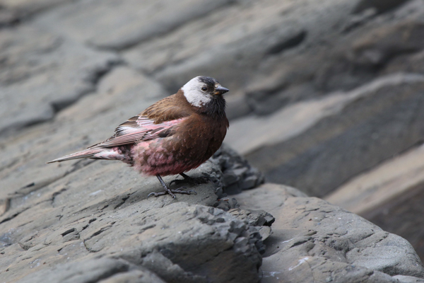 The grey-crowned rosy finch