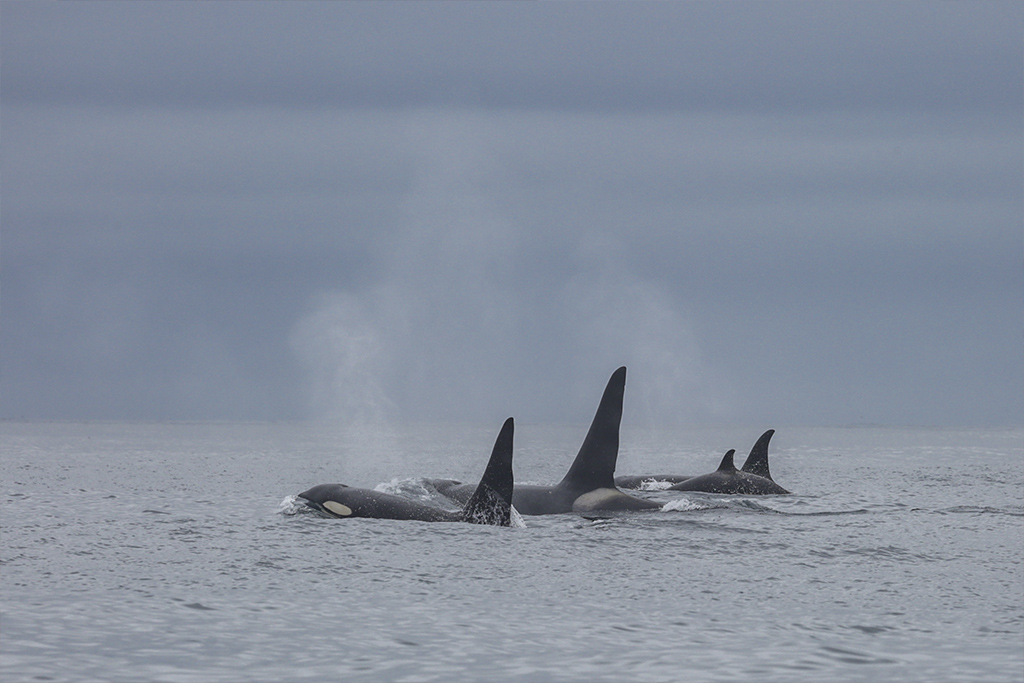 Killer Whales Hunt Right Whales. Beaked Whales Search for New Depths
