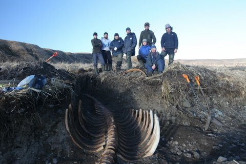 Skeleton of Ancient Sea Cow Found on Bering Island